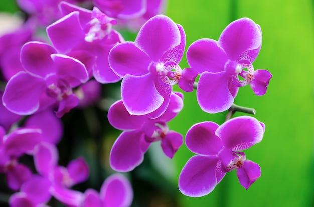 Purpurowa orchidea zamazująca z zamazanym tłem