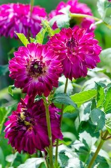 Purpurowe dalie w ogródzie