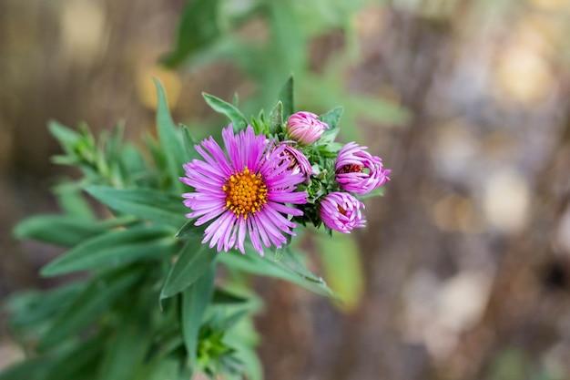 Purpurowe dziewicze astry późną jesienią