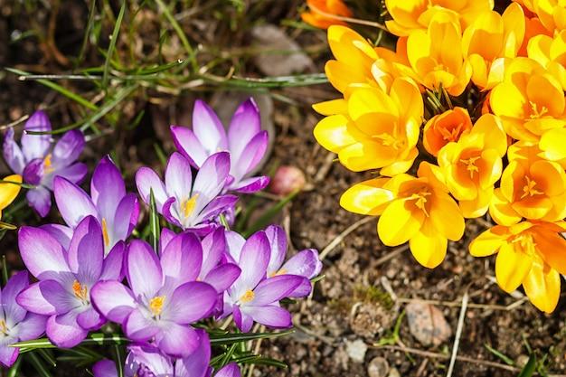 Purpurowe i żółte krokusy kiełkują na wiosnę w ogrodzie. symbol wiosny.