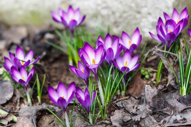 Purpurowe krokusy kiełkują na wiosnę w ogrodzie. symbol wiosny.