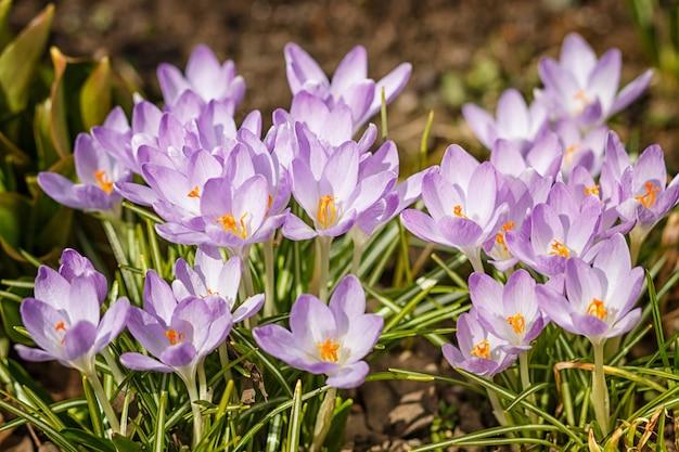 Purpurowe krokusy kiełkują na wiosnę w ogrodzie