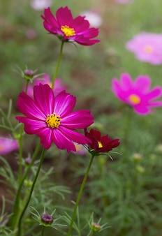 Purpurowe kwiaty kosmosu