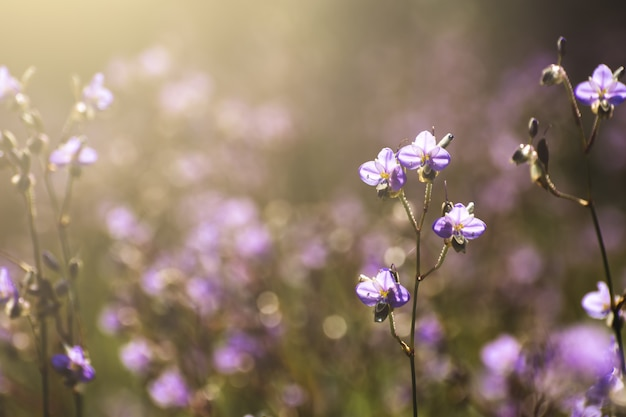Purpurowe kwiaty pola rano.
