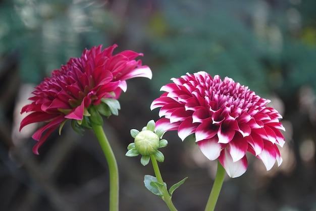 Purpurowe kwiaty z białymi krawędziami