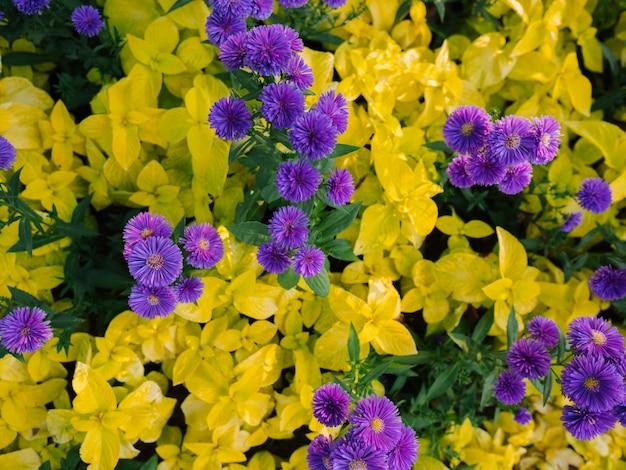 Purpurowe kwiaty z żółtymi liśćmi. charakter tła