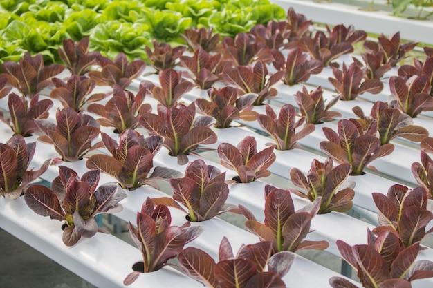Purpurowe sałata warzywa hydroponicznych