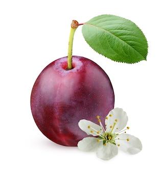 Purpurowe śliwki na białym tle. jeden cały owoc z liściem i kwiatem.