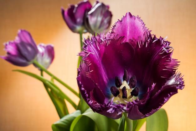 Purpurowe tulipany z bliska i widoczne pręciki tłucze na zielono