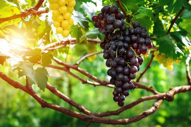 Purpurowe winogrona uprawiane na farmach.