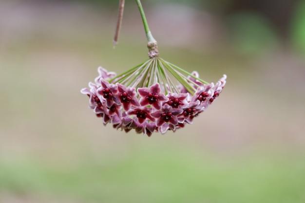 Purpurowego hoya kwiatu kwitnący tło
