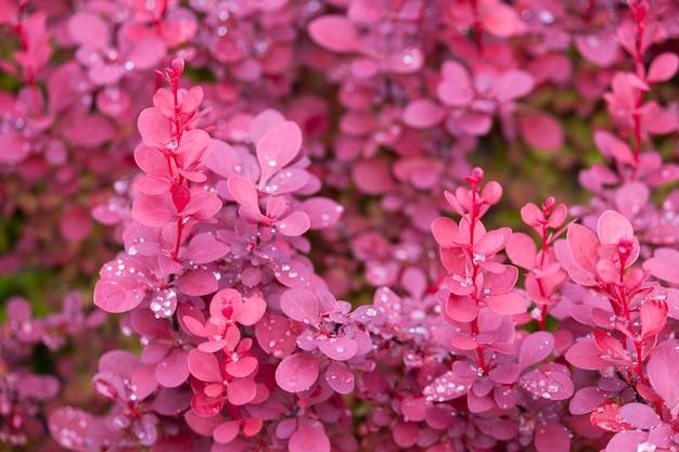 Purpurowy berberysowy krzaka tło z rosa kroplami