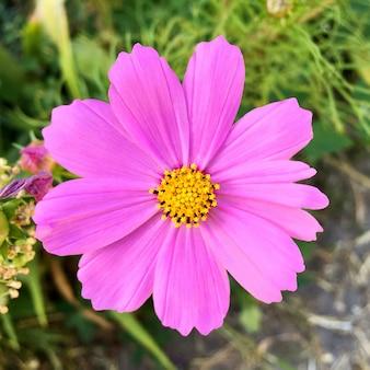 Purpurowy cosmos bipinnatus lub meksykański kwiat aster zakwitł i zakwitł w ozdobnym ogrodzie.