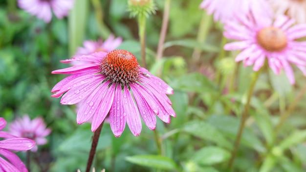 Purpurowy echinacea kwiat w ogródzie.