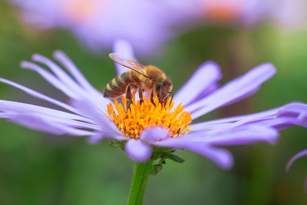 Purpurowy kwiat aster alpinus lub alpine aster purpurowy lub liliowy kwiat z pszczołą zbierającą pyłek lub nektar.