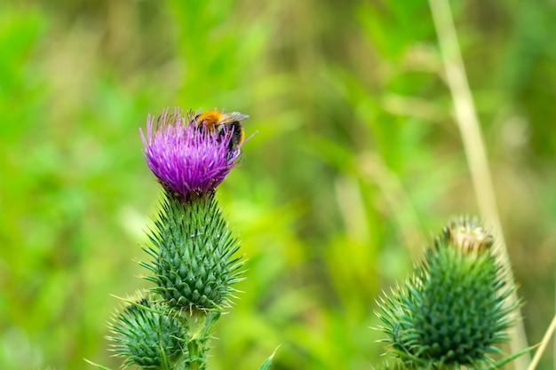 Purpurowy kwiat łopian w polu. rośliny lecznicze.