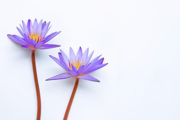 Purpurowy kwiat lotosu kwitnący na białym tle.