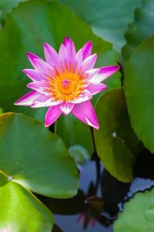 Purpurowy kwiat lotosu piękny lotos.