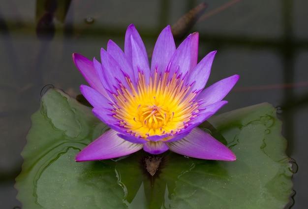 Purpurowy kwiat lotosu w stawie