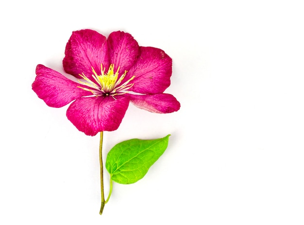 Purpurowy kwiat powojnika