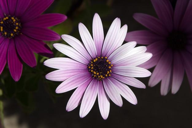 Purpurowy kwiat stokrotka euryops