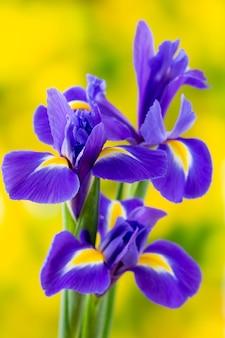 Purpurowy kwiat tęczówki na żółtym tle.