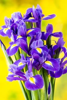 Purpurowy kwiat tęczówki na żółtym tle