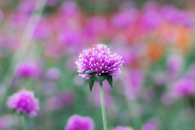 Purpurowy kwiat w zimie.