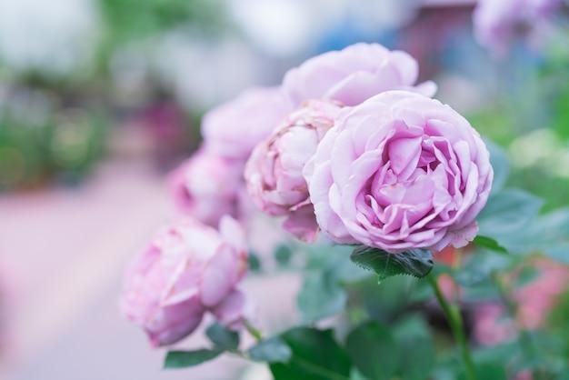 Purpurowy lawendowy róża kwiat na zamazanych tło