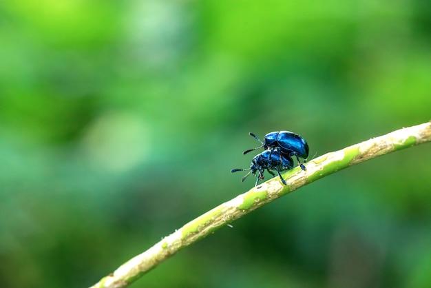 Purpurowy liść chrząszcz w hodowli