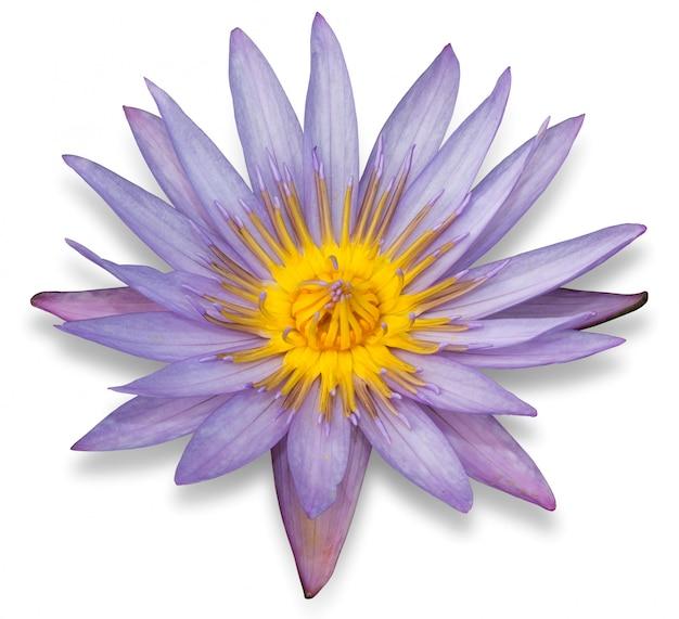 Purpurowy lotosowy kwiat odizolowywający na białym tle