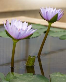 Purpurowy lotosowy kwiat w stawie