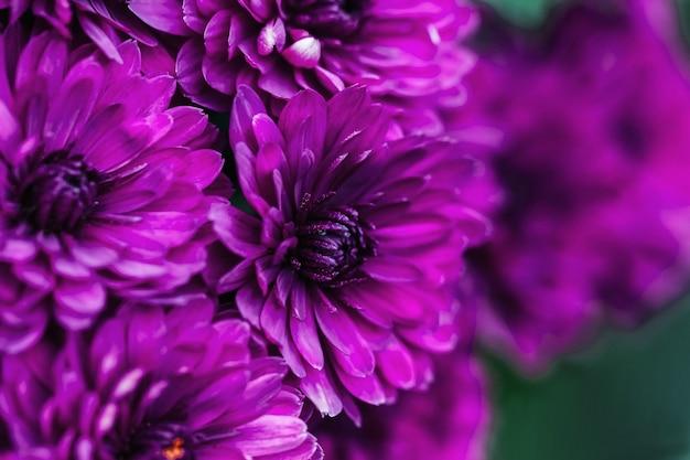 Purpurowy płatki dalii makro, kwiatowy streszczenie tło. bliska dalii flowes, chryzantemy na tle, nieostrość...