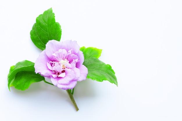 Purpurowy poślubnika syriacus w pełnym kwiacie na bielu.