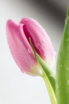 Purpurowy tulipan z kroplami woda na odosobnionym na bielu