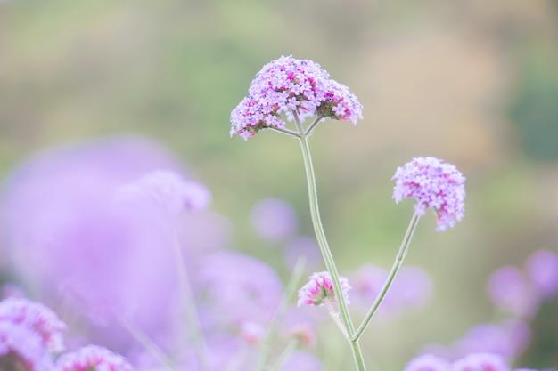 Purpurowy verbina kwiat w ogródzie