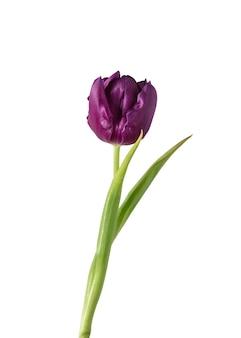 Purpurowy. zamknij się piękny świeży tulipan na białym tle. organiczny, kwiatowy, wiosenny nastrój, delikatne i głębokie kolory płatków i liści. wspaniały i chwalebny.