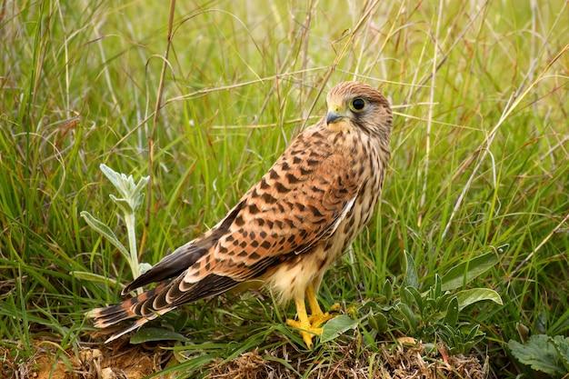 Pustułka falco tinnunculus siedzi na ziemi