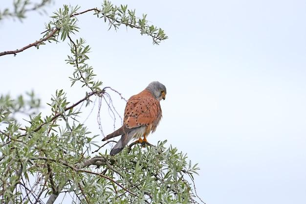 Pustułka siedzi na wierzchołku drzewa i wypatruje zdobyczy. niezwykłe zdjęcie perspektywiczne.