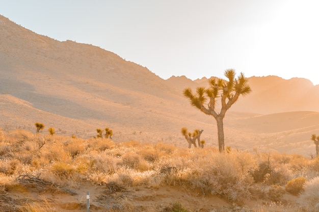 Pustynne pole z drzewem jozuego o zachodzie słońca z pagórkowatym krajobrazem