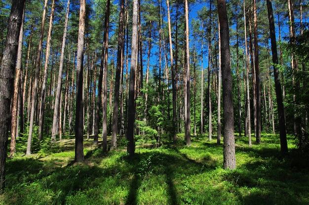 Puszcza białowieska w kraju białoruś