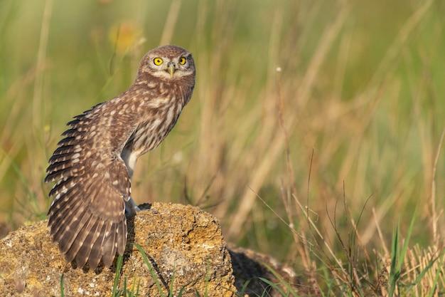 Puszczyk athene noctua młoda sowa siedzi na skale z otwartym skrzydłem
