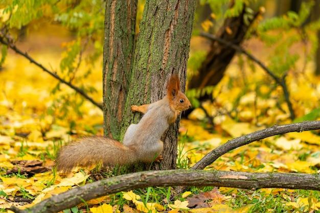 Puszysta piękna wiewiórka jesienią w miejskim parku szuka pożywienia wśród opadłych żółtych liści.