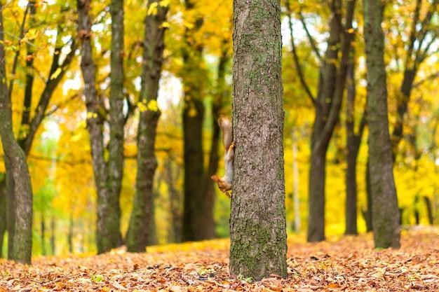 Puszysta piękna wiewiórka na pniu drzewa wśród żółtych liści jesienią w parku miejskim.