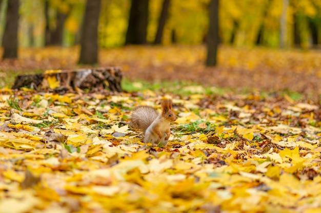 Puszysta piękna wiewiórka szuka pożywienia wśród opadłych żółtych liści jesienią w miejskim parku.