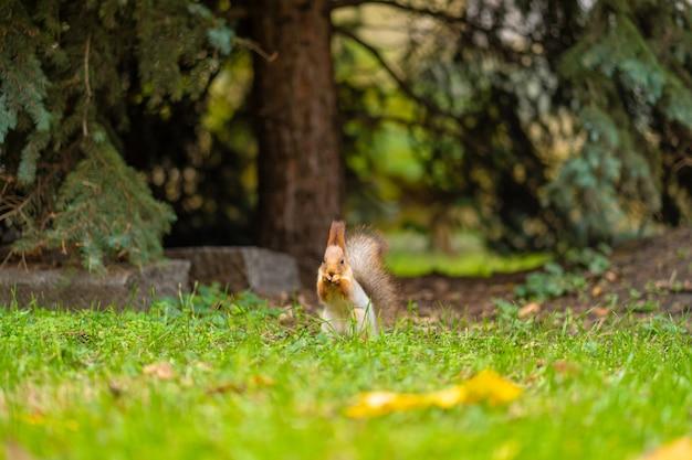 Puszysta piękna wiewiórka zjada orzech na zielonym trawniku w miejskim parku.
