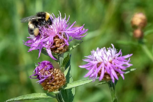 Puszysta pszczoła miodna zbiera nektar siedzący na fioletowym kwiecie