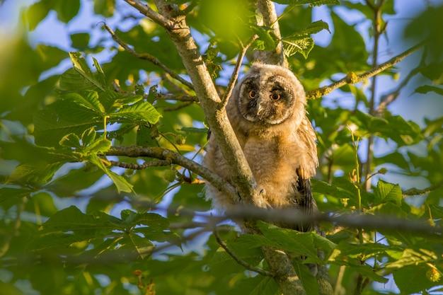 Puszysta sowa siedząca na gałęzi drzewa między liśćmi