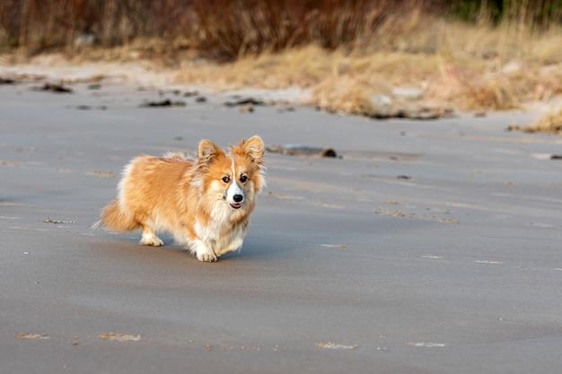 Puszysta walijska corgi biegnie po plaży i bawi się w piasku