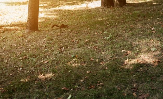 Puszysta wiewiórka biega po trawie w parku w ciągu dnia